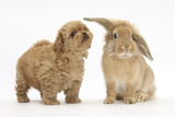 Peekapoo (Pekingese X Poodle) Puppy and Sandy Lop Rabbit Fotografisk tryk af Mark Taylor