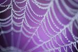 Dew Covered Spider's Web with Pink Flowering Heather in the Background, Dorset, UK Fotografisk tryk af Ross Hoddinott