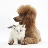 Red Toy Poodle Dog, and Ragdoll-Cross Kitten, 5 Weeks Photographic Print by Mark Taylor