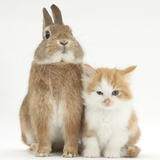 Ginger-And-White Kitten and Sandy Netherland Dwarf-Cross Rabbit Photographic Print by Mark Taylor