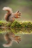 Red Squirrel (Sciurus Vulgaris) at Woodland Pool, Feeding on Nut, Scotland, UK, November Photographic Print by Mark Hamblin