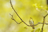 Wood Warbler (Phylloscopus Sibilatrix) Singing from Oak, Atlantic Oakwoods of Sunart, Scotland Photographic Print by Fergus Gill