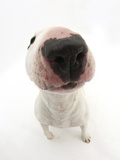 Miniature Bull Terrier Dog with Nose Close Up to Camera Photographic Print by Mark Taylor