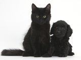 Black Maine Coon Kitten and Cute Daxiedoodle Puppy Photographic Print by Mark Taylor