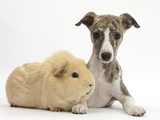 Brindle-And-White Whippet Puppy, 9 Weeks, with Yellow Guinea Pig Photographic Print by Mark Taylor