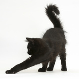 Fluffy Black Kitten, 12 Weeks Old, Stretching Photographic Print by Mark Taylor