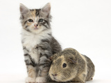 Guinea Pig and Maine Coon-Cross Kitten, 7 Weeks Photographic Print by Mark Taylor