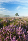 New Forest Heathland with Ling (Calluna Vulgaris) and Bell Heather (Erica Cinerea) Hampshire, UK Photographic Print by Guy Edwardes