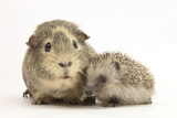 Baby Hedgehog (Erinaceous Europaeus) and Guinea Pig (Cavia Porcellus) Photographic Print by Mark Taylor