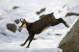 Chamois (Rupicapra Rupicapra) Leaping in Snow, Gran Paradiso National Park, Italy, November 2008 Photographic Print by E. Haarberg