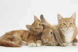 Ginger Kittens with Sandy Lionhead-Lop Rabbit Photographic Print by Mark Taylor