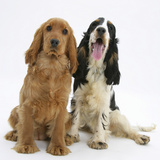 Red - Golden and Tricolour English Cocker Spaniels Photographic Print by Mark Taylor