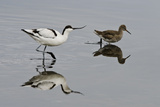 Avocet (Recurvirostra Avosetta) Feeding Along Side a Redshank (Tringa Totanus), Brownsea Island, UK Reproduction photographique par Bertie Gregory