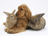 Red - Golden English Cocker Spaniel, 5 Months, with Two Rabbits Photographic Print by Mark Taylor