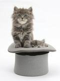 Two Maine Coon Kittens, 7 Weeks, in a Grey Top Hat Photographic Print by Mark Taylor
