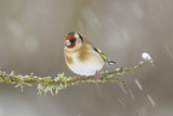 Goldfinch (Carduelis Carduelis) Perched on Branch in Snow, Scotland, UK, December Photographic Print by Mark Hamblin