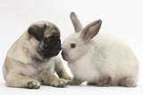 Fawn Pug Puppy, 8 Weeks, and Sooty Colourpoint Rabbit Photographic Print by Mark Taylor
