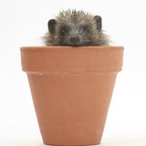 Baby Hedgehog (Erinaceus Europaeus) in a Flowerpot Photographic Print by Mark Taylor