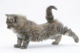 Maine Coon Kitten, 8 Weeks, Stretching Back Leg Photographic Print by Mark Taylor