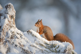 Red Squirrel (Sciurus Vulgaris) on Pine Stump in Snow, Scotland, UK, December Photographic Print by Mark Hamblin