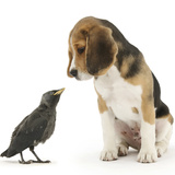 Beagle Puppy with Fledgling Jackdaw (Corvus Monedula) Reproduction photographique par Mark Taylor