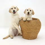 Yellow Labrador Retriever Pups, 4 Months Old, in Straw Laundry Basket Photographic Print by Mark Taylor