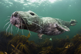 Female Grey Seal Juvenile Swimming over Kelp, Off Farne Islands, Northumberland Stampa fotografica di Alex Mustard