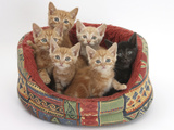 One Black and Five Ginger Kittens in a Soft Cat Bed Photographic Print by Mark Taylor