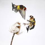 Goldfinches (Carduelis Carduelis) Squabbling over Teasel Seeds in Winter. Cambridgeshire, UK Photographic Print by Mark Hamblin