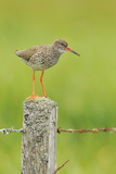 Redshank Perched on Fence Post Vocalising, Balranald Rspb, North Uist, Outer Hebrides, Scotland, UK Photographic Print by Fergus Gill