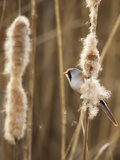 Bearded Tit - Parrotbill (Panurus Biarmicus) Male Perched on Bullrush (Typha Latifolia) London, UK Photographic Print by Andrew Parkinson
