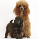 Red Toy Poodle Dog and His 7-Week Red Merle Puppy Photographic Print by Mark Taylor