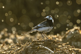 Adult Male Pied Wagtail in Spring Plumage, Feeding on Dung Flies, Hertfordshire, England, UK Photographic Print by Chris Gomersall