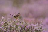 Dartford Warbler (Sylvia Undata) Male Perched on Heather - Ling (Calluna Vulgaris), Suffolk, UK Photographic Print by Chris Gomersall