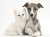 Brindle-And-White Whippet Puppy, 9 Weeks, with White Maine Coon-Cross Kitten Reproduction photographique par Mark Taylor