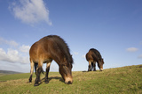 Exmoor Ponies (Equus Caballus) Grazing at Seven Sisters Country Park, South Downs, England Photographic Print by Peter Cairns