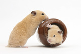 Two Golden Hamsters Playing with a China Pot Photographic Print by Mark Taylor