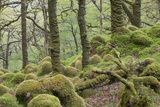 Oak Woodland in Spring with Moss Covered Rocks, Sunart Oakwoods, Ardnamurchan, Highland, Scotland Photographic Print by Peter Cairns