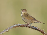 Grasshopper Warbler (Locustella Naevia) Singing, Wirral, England, UK, May 2012 Reproduction photographique par Richard Steel