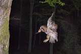 Tawny Owl (Strix Aluco) Flying with Dormouse Prey (Muscardinus Avellanairus) to Nest, Sussex Fotoprint van Dale Sutton
