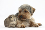Yorkshire Terrier Dog, 16 Months, and Guinea Pig Photographic Print by Mark Taylor
