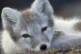 Arctic Fox (Alopex Lagopus) Portrait, Trygghamna, Svalbard, Norway, July Fotografisk tryk af de la
