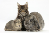 Tabby Maine Coon Kitten, Logan, 12 Weeks, with Rabbit and Guinea Pig Photographic Print by Mark Taylor