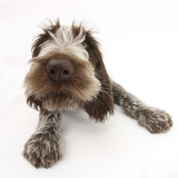 Brown Roan Italian Spinone Puppy, Riley, 13 Weeks, Lying with Head Up Photographic Print by Mark Taylor