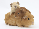 Mother Guinea Pig with Two Babies Riding on Her Back Photographic Print by Mark Taylor