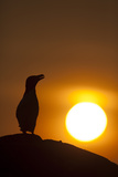 Silhouette of Razorbill (Alca Torda) Against Sunset. June 2010 Photographic Print by Peter Cairns