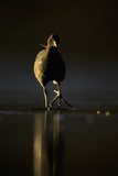 Moorhen (Gallinula Chloropus) Adult Walking on Frozen Lake at Dusk, Backlit, Derbyshire, UK Photographic Print by Andrew Parkinson