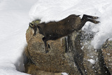 Chamois (Rupicapra Rupicapra) Jumping Down from Rock in Deep Snow, Gran Paradiso Np, Italy Photographic Print by E. Haarberg
