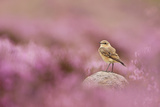 Wheatear (Oenanthe Oenanthe) Perched on Gritstone Rock Amongst Flowering Heather, Peak District Np Photographic Print by Ben Hall