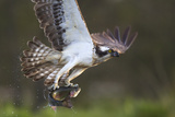Osprey (Pandion Haliaetus) with Fish Prey, Cairngorms National Park, Scotland, UK, May Photographie par Peter Cairns